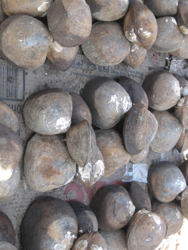 Kina clams